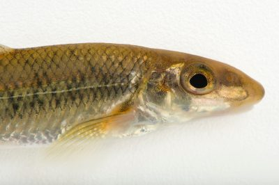 Photo: Eastern gravel chub (Erimystax x-punctatus trautmani) collected from Big Darby Creek near Circleville, OH.