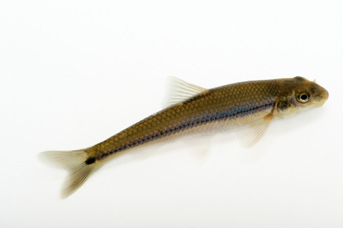Photo: Suckermouth minnow (Phenacobius mirabilis) collected from Big Darby Creek near Circleville, OH.