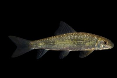 Photo: Smallmouth redhorse (Moxostoma breviceps) collected from Big Darby Creek near Circleville, OH.