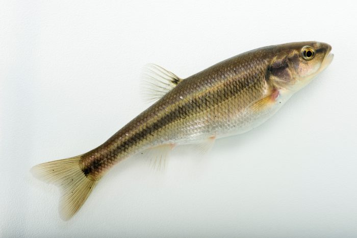 Photo: Creek chub (Semotilus atromaculatus) collected from Big Darby Creek near Circleville, OH.