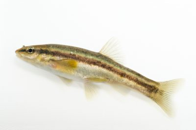 Western Blacknose dace (Rhinichthys obtusus) collected from Big Darby Creek near Circleville, OH.