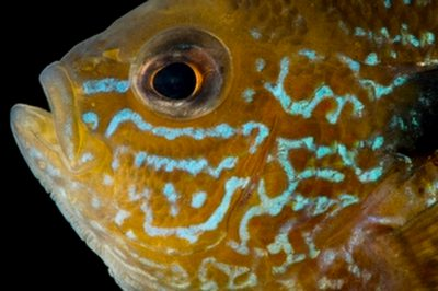Central Longear sunfish (Lepomis megalotis megalotis) collected from Big Darby Creek near Circleville, OH.