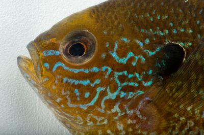A female central longear sunfish (Lepomis megalotis megalotis) collected from Big Darby Creek near Circleville, OH.