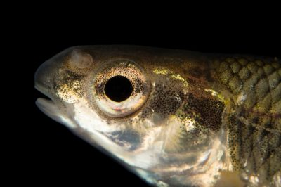 Photo: Bluntnose minnow (Pimephales notatus) collected from Big Darby Creek near Circleville, OH.