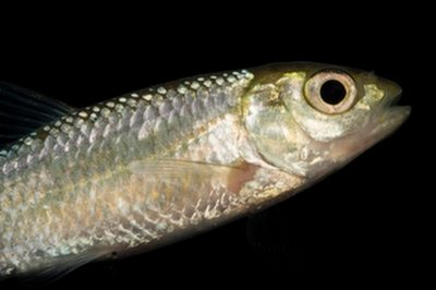 Striped shiner (Luxilus chrysocephalus chrysocephalus) collected from Big Darby Creek near Circleville, OH.