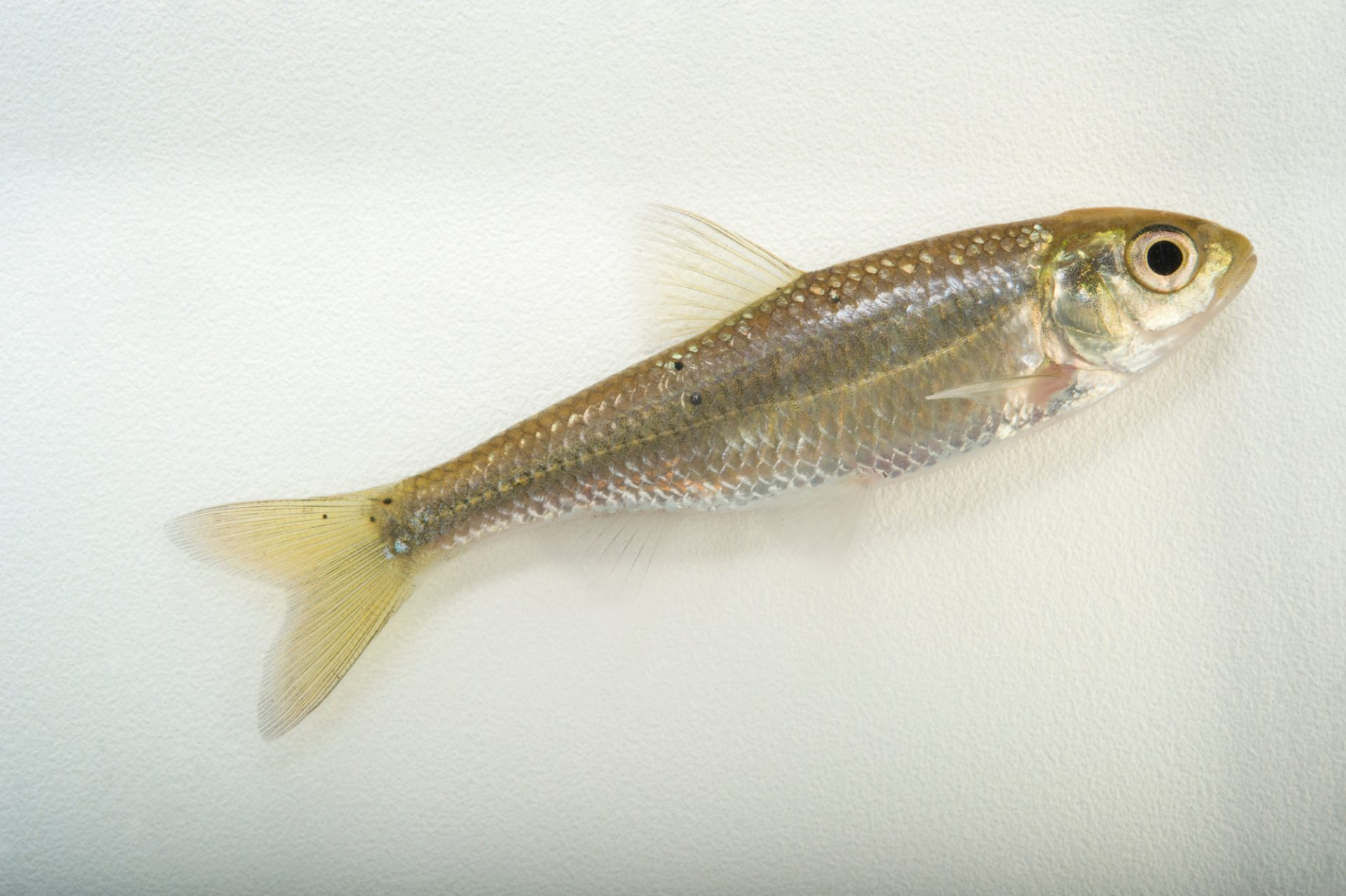 Photo: Striped shiner (Luxilus chrysocephalus chrysocephalus) collected from Big Darby Creek near Circleville, OH.