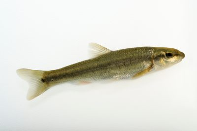 Photo: Central Stoneroller (Campostoma anomalum) collected from Big Darby Creek near Circleville, OH.