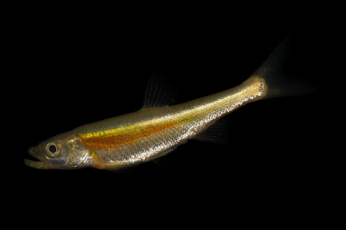 Photo: Redside dace (Clinostomus elongatus) collected from Big Darby Creek near Circleville, OH.