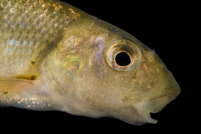 Photo: Tonguetied minnow (Exoglossum laurae) collected from Big Darby Creek near Circleville, OH.