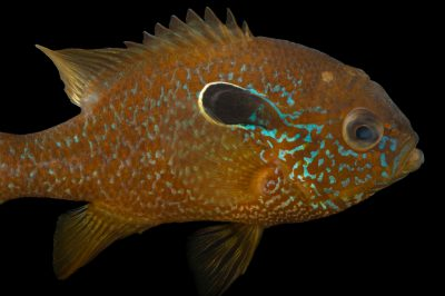 A male central longear sunfish (Lepomis megalotis megalotis) collected from Big Darby Creek near Circleville, OH.