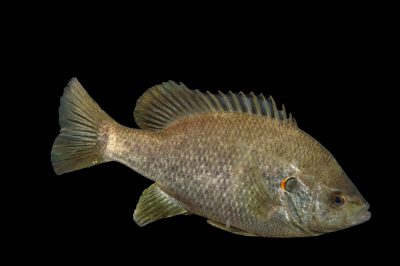 Photo: Redear sunfish (Lepomis microlophus) at the Loveland Living Planet Aquarium.