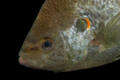 Photo: Redear sunfish (Lepomis microlophus) at the Loveland Living Planet Aquarium.