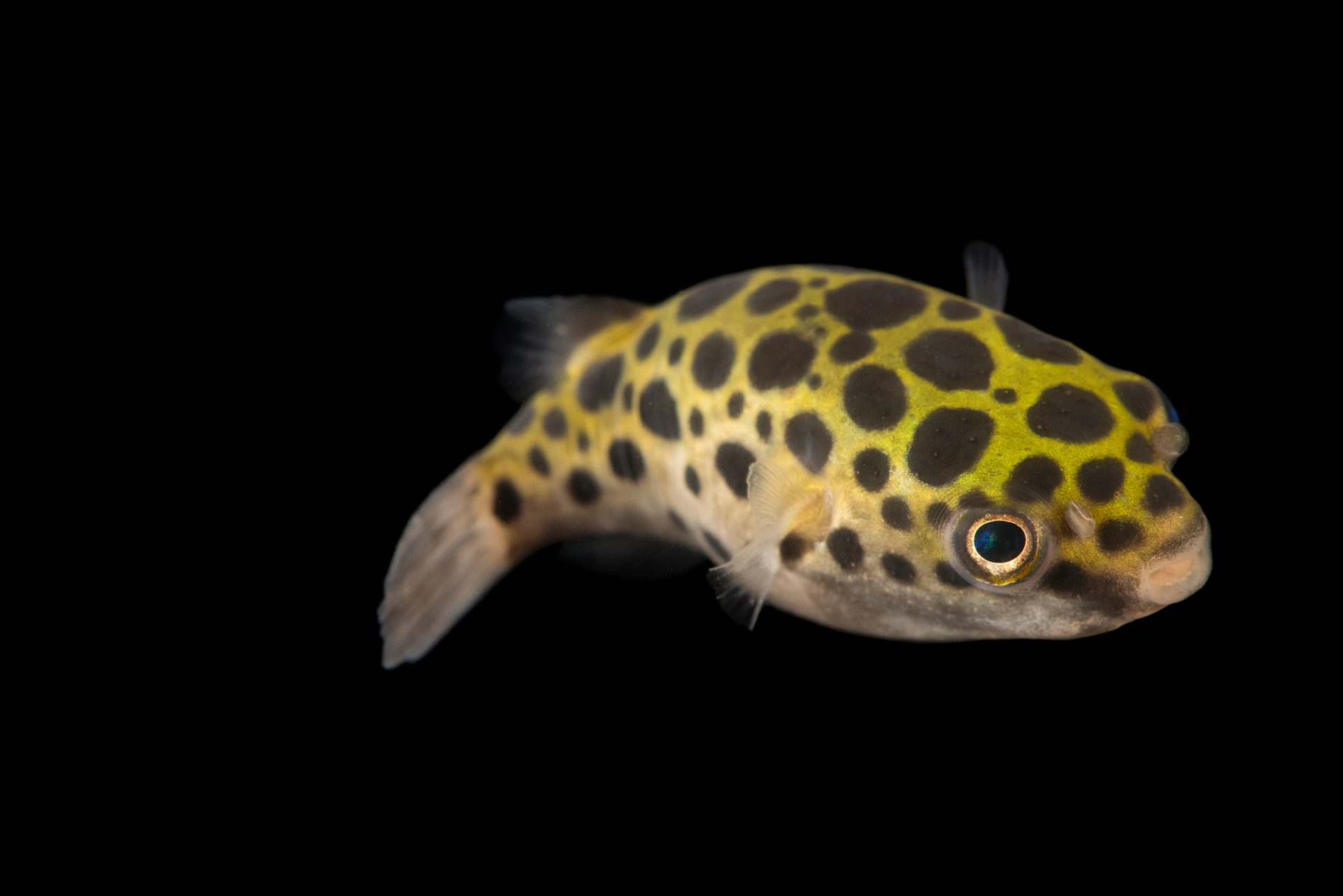 Photo: A green spotted puffer (Tetraodon nigroviridis) at the Singapore Zoo's River Safari area.