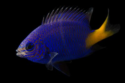 Photo: Yellowtail damselfish (Dascyllus flavicaudus) at the Miller Park Zoo in Bloomington, IL.