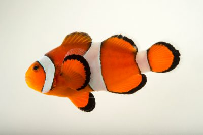 Photo: Peacock clownfish (Amphiprion ocellaris) at the Miller Park Zoo in Bloomington, IL.