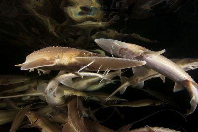 The critically endangered (IUCN) and federally endangered pallid sturgeon (Scaphirhynchus albus) at the Gavin's Point National Fish Hatchery in Yankton, SD. These fish are seven years old and will be used as breeders starting between 15 and 20 years of age.