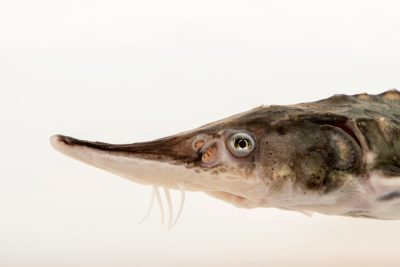 Photo: Green Sturgeon (Acipenser medirostris) at the University of California, Davis.