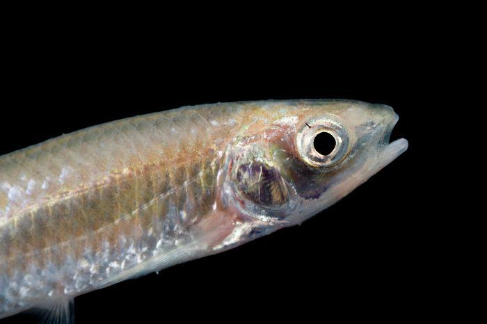 A spotfin shiner (Cyprinella spiloptera).