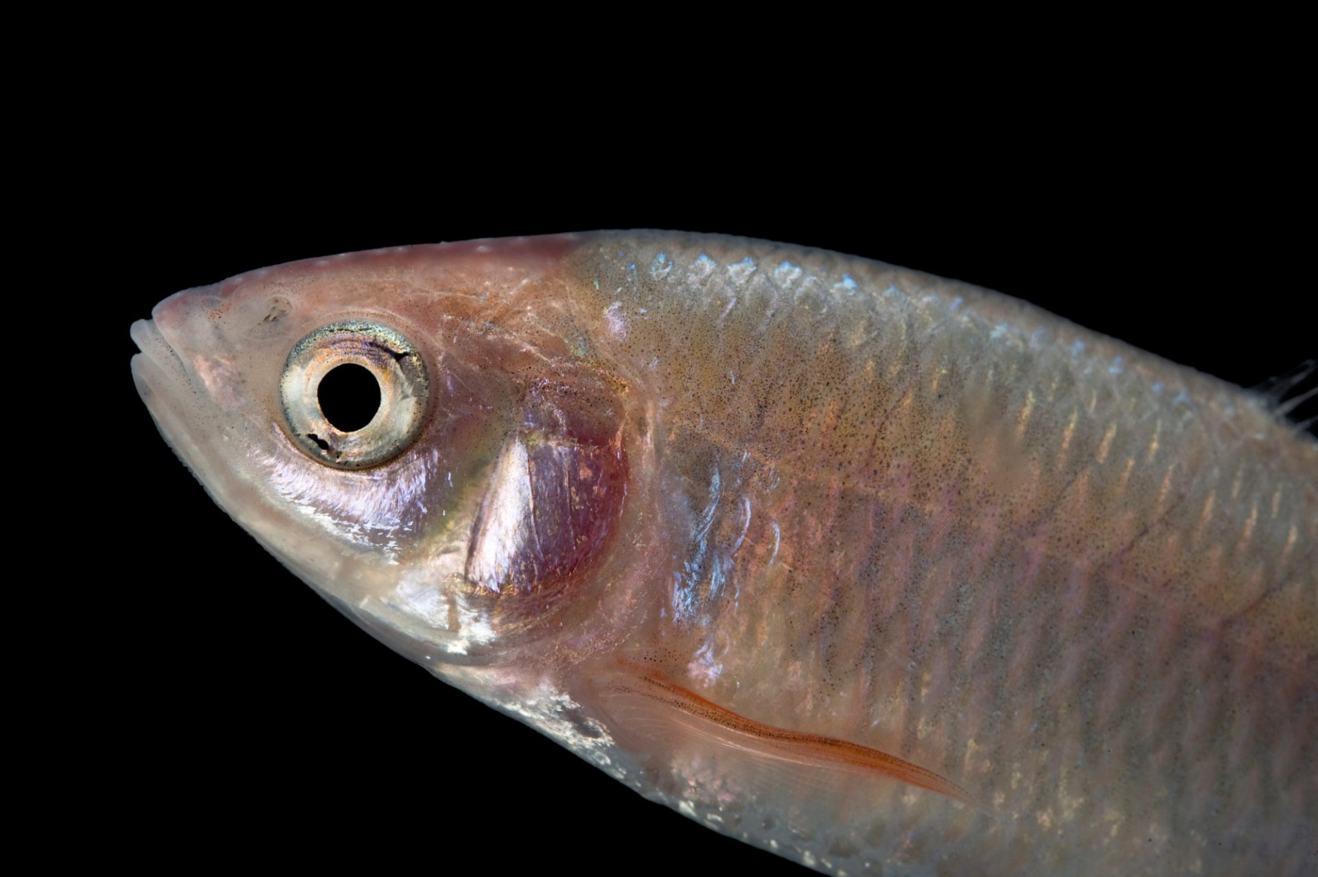 A red shiner (Cyprinella lutrensis).