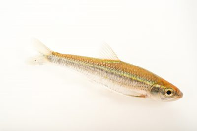 Picture of a cardinal shiner (Luxilus cardinalis) collected in Cherokee County, Oklahoma, at the Oklahoma City Zoo.