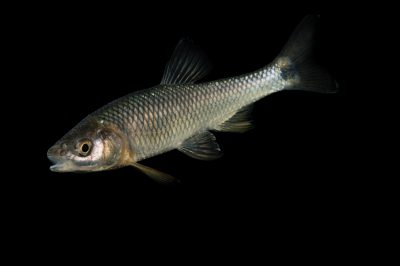 Picture of a blacktail shiner (Cyprinella venusta) from the Guadalupe River drainage near San Marcos, Texas, at the US Geological Survey Southeast Science Center.