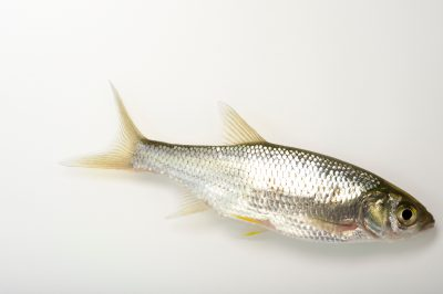 Picture of a golden shiner (Notemigonus crysoleucas) from the Santa Fe River, Florida, at the US Geological Survey Southeast Science Center.