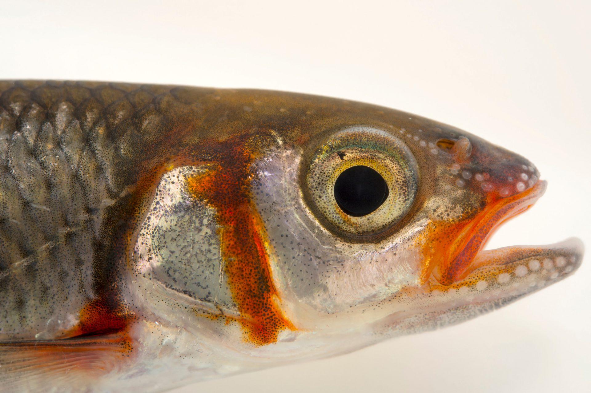Picture of a warpaint shiner (Luxilus coccogenis) at the Virginia Aquarium.