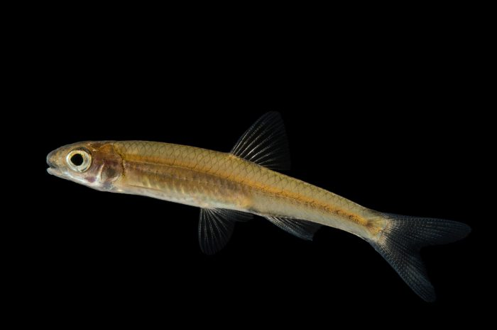 A sawfin shiner (Notropis sp.) at Conservation Fisheries in Knoxville, Tennessee.