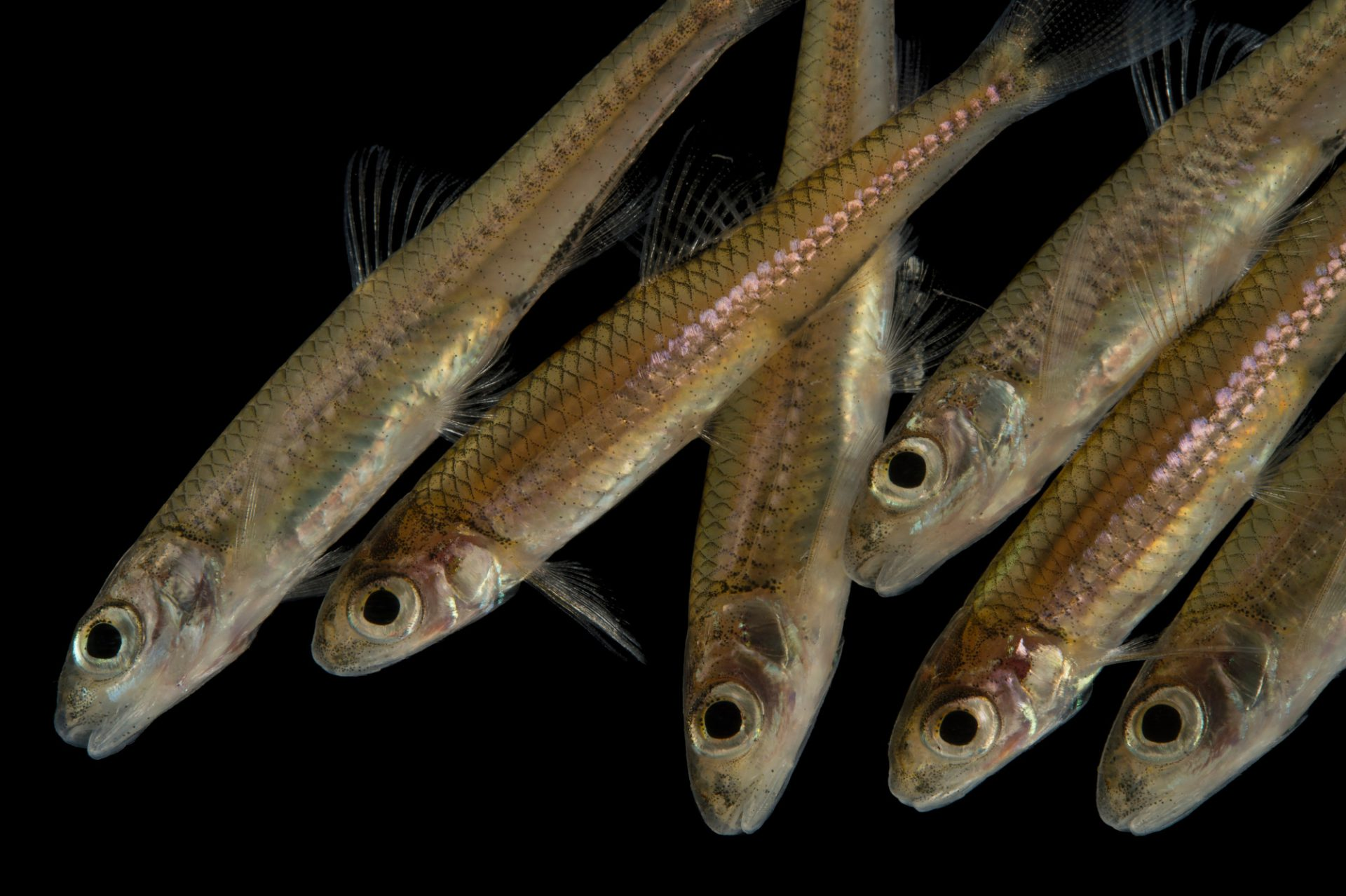 A school of sawfin shiners (Notropis sp.) at Conservation Fisheries in Knoxville, Tennessee.