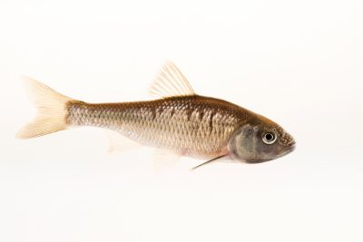 Photo: A male Common shiner (Luxilus cornutus) in breeding colors at the Minnesota Department of Natural Resources Center for Aquatic Mollusk Programs.