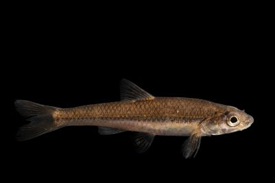 Photo: Bigmouth shiner (Notropis dorsalis) at the Minnesota Department of Natural Resources Center for Aquatic Mollusk Programs.