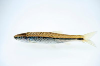 Photo: An endangered blue shiner (Cyprinella caerulea) from the Conasauga River.