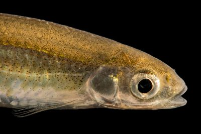 Photo: Emerald shiner (Notropis atherinoides) at the University Lab at the University of Minnesota in St. Paul.