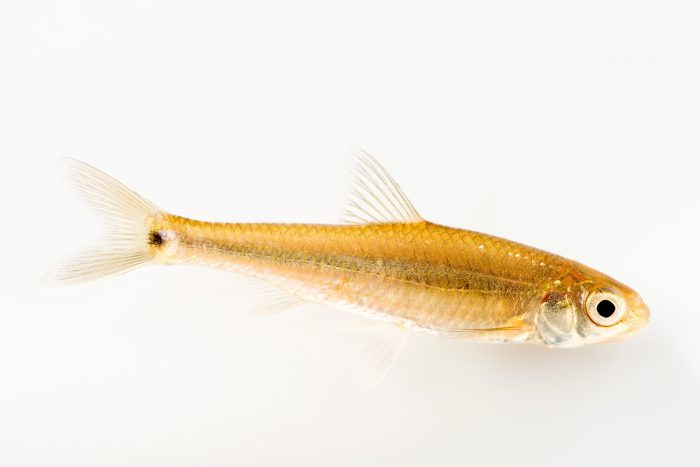 Photo: Spottail shiner (Notropis hudsonius) at the University Lab at the University of Minnesota in St. Paul.