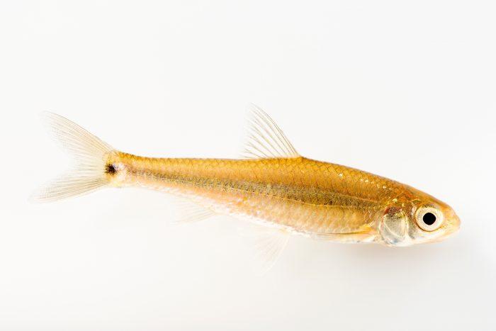 Photo: Spottail shiner (Notropis hudsonius) at the University Lab at the University of Minnesota in St. Paul.
