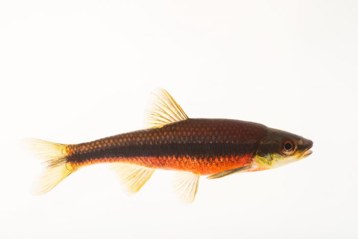 Photo: Yellowfin shiner (Notropis lutipinnis) at East Bay Regional Park District.