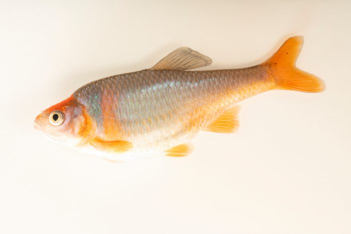 Photo: Red shiner (Cyprinella lutrensis) at the Milford Nature Center.