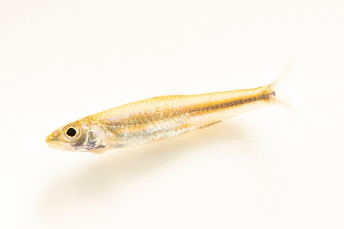 Photo: A skygazer shiner (Notropis uranoscopus) at the Auburn University Natural History Museum.