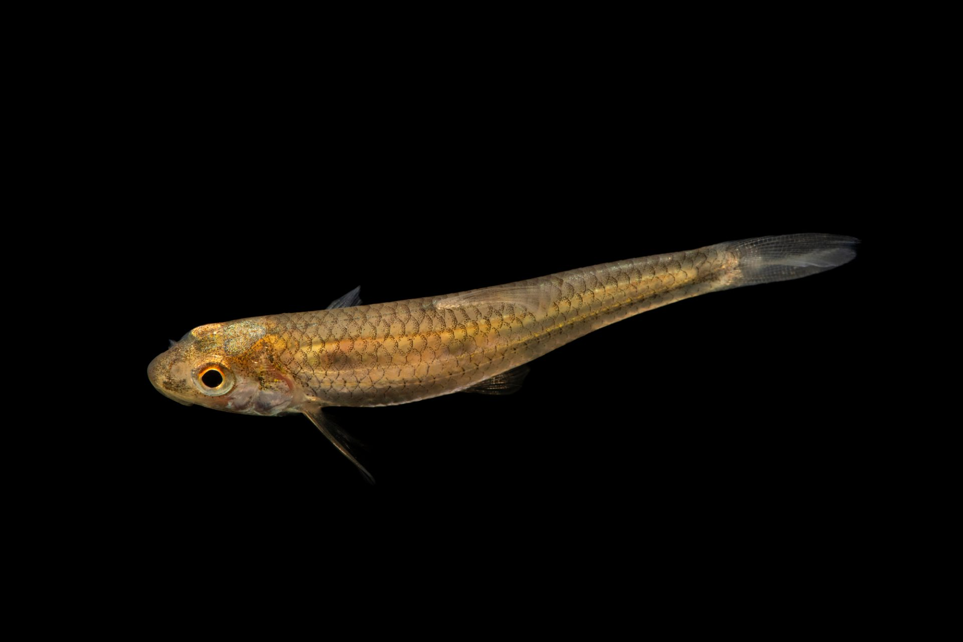 Photo: An orangefin shiner (Notropis ammophilus) at the Auburn University Natural History Museum.
