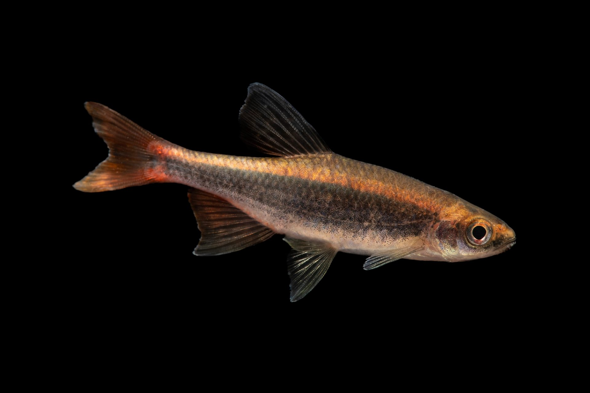 Photo: A broadstripe shiner (Pteronotropis euryzonus) at Fish Biodiversity Lab, Auburn University, Auburn, Alabama.