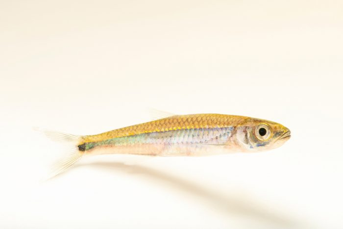 Photo: A silverstripe shiner (Notropis stilbius) at Fish Biodiversity Lab, Auburn University, Auburn, Alabama.