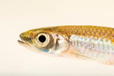 Photo: A silverstripe shiner (Notropis stilbius) at Fish Biodiversity Lab, Auburn University, Auburn, Alabama.