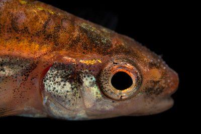 Photo: A rainbow shiner (Notropis chrosomus) at Fish Biodiversity Lab, Auburn University, Auburn, Alabama.