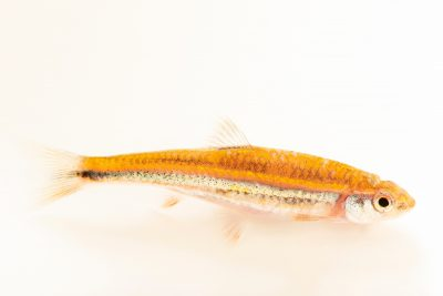 Photo: A rainbow shiner (Notropis chrosomus) at Fish Biodiversity Lab, Auburn University, Auburn, Alabama.