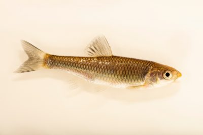 Photo: A blunt face shiner (Cyprinella camura) at the Oklahoma City Zoo.