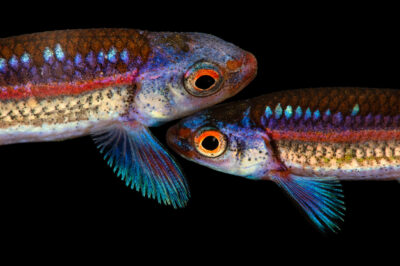Photo: Rainbow shiners (Notropis chrosomus) in spawning colors, from a private collection in Knoxville, Tennessee.