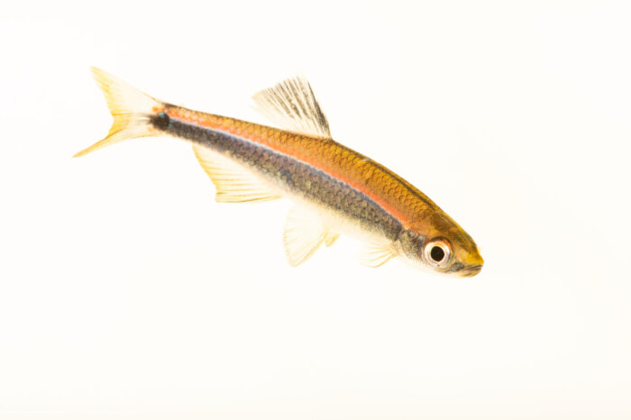 Photo: An Apalachee shiner (Pteronotropis grandipinnis) from a private collection in Knoxville, Tennessee.