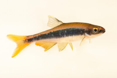 Photo: An orangetail shiner (Pteronotropis merlini) from a private collection in Knoxville, Tennessee.