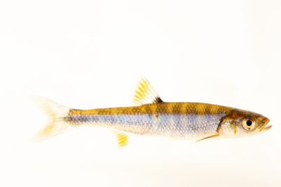 Photo: A scarlet shiner (Lythrurus fasciolaris) at Conservation Fisheries in Knoxville, Tennessee.