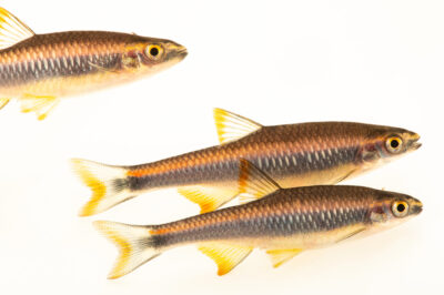 Photo: Flagfin shiner (Pteronotropis signipinnis) at Conservation Fisheries in Knoxville, Tennessee.